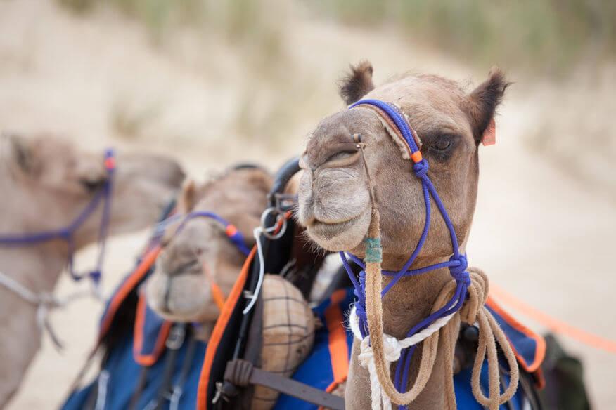 Camel Rides Lakes Entrance